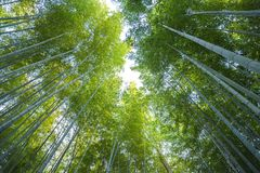 Arashiyama bamboo forest  in kyoto japan. Background of arashiyama bamboo forest the famous place in kyoto ,japan Royalty Free Stock Image