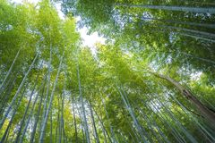 Arashiyama bamboo forest  in kyoto japan. Background of arashiyama bamboo forest the famous place in kyoto ,japan Stock Images