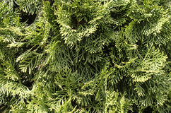 Background. Arborvitae branches. Royalty Free Stock Images