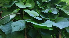 Background of Aristolochia Macrophilla leaves like green heart stock images