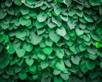 Background of Aristolochia Macrophylla leaves. Texture close up Royalty Free Stock Photography