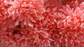 Background of Artificial Orange Chrysanthemum Flowers Royalty Free Stock Photography
