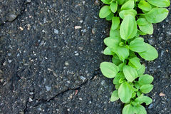 Background with Asphalt and Plantain Stock Image
