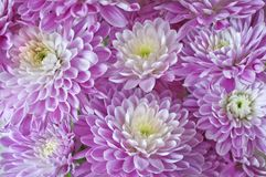Background Aster flowers in magenta colors Stock Photo