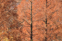 Background of Autumn Brown Larch Trees Royalty Free Stock Image