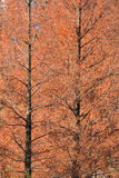 Background of Autumn Brown Larch Trees Royalty Free Stock Photography