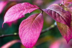 Background autumn color. Pink autumn leaves on tree Royalty Free Stock Photo