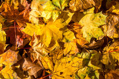 Background with autumn colorful leaves Royalty Free Stock Images