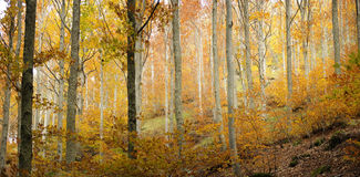 Background of autumn forest Royalty Free Stock Image