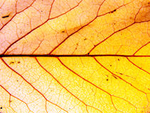 Background of autumn leaf. Background of a autumn leaf Stock Photos