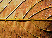 Background of an autumn leaf in the sunlight. Background of an autumn leaf in the sunshine Stock Photos