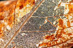 Background of a autumn leaf Royalty Free Stock Photo