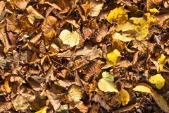 Background autumn leaves. Fallen pile of autumn leaves Royalty Free Stock Images