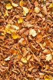 Background autumn leaves. Fallen pile of autumn leaves Royalty Free Stock Photos