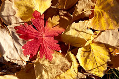 Background with autumn leaves. Background with red and yellow autumn leaves Stock Images