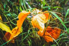 Background of autumn leaves autumn leaves in a Park on earth, yellow, green leaves in autumn Park. Background of autumn leaves autumn leaves in a Park on earth stock photo