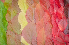 Background of autumn leaves, a carpet of leaves. In a row Royalty Free Stock Images
