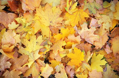 Background from autumn leaves. Royalty Free Stock Photo