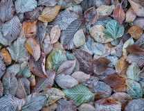 Background of autumn leaves in the frost.  Royalty Free Stock Photos