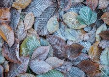 Background of autumn leaves in the frost.  Stock Images