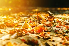 Background autumn leaves autumn leaves in a Park on earth, yellow, green leaves in autumn Park. Background of autumn leaves autumn leaves in a Park on earth royalty free stock image