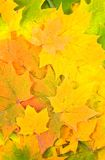 Background from autumn maple leaves. Green yellow beautiful plants Stock Images