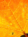 Background autumn maple leaves. Background autumn maple foliage leaves royalty free stock photography