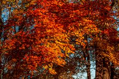 Background of autumn maple leaves in the sunlight royalty free stock photography