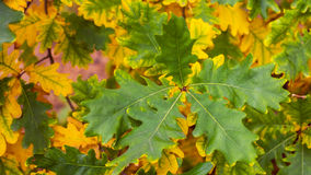 Background of autumn oak leaves Stock Images