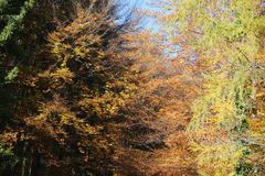 background autumn trees and beech trees with colorful leaves wit Royalty Free Stock Image