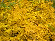 Background of autumn yellow leaves Royalty Free Stock Photography