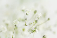 Background of Baby`s Breath filler flower Stock Image