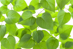 Background of backlit green leaves. Background of fresh green leaves in backlight Stock Photo
