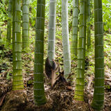 Background in bamboo Royalty Free Stock Image