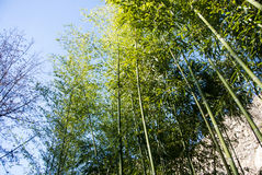 A background with bamboo stems and leaves and the sky. At Tbilisi botanical garden, Georgia, Caucasus mountains Royalty Free Stock Image
