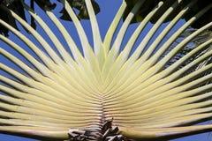 Background banana tree. Stock Photography