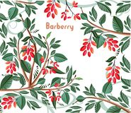 Background with barberry Stock Photos
