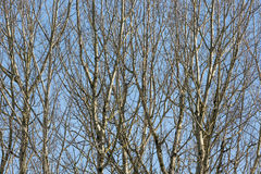 Background of bare trees against a blue sky in early spring Stock Image