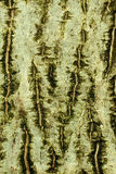 Background of bark of Common walnut Royalty Free Stock Photo
