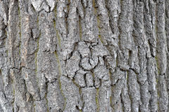 Background of the bark of the oak tree Royalty Free Stock Photography