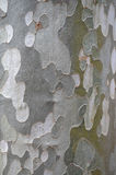 Background of the bark of sycamore Royalty Free Stock Photos