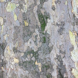 Background of bark of sycamore Royalty Free Stock Photo