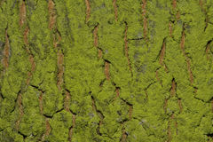 Background Bark Of A Tree With Moss Royalty Free Stock Photo