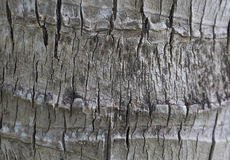 Background from the bark of a tree. Background from the bark of palm trees Stock Images