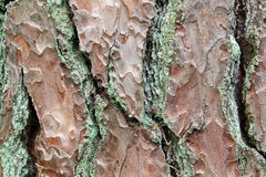 Background of bark of tree, pinetree Stock Photography