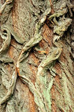 Background of bark of White Willow, Salix alba royalty free stock image
