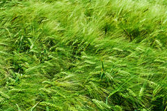 Background with barley Royalty Free Stock Images