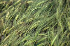 Background of barley field in Yunnan; China