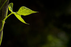 Background with bean leaf Royalty Free Stock Photography