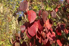 Background Beautiful autumn leaves. Autumn / Background Beautiful autumn leaves royalty free stock photography